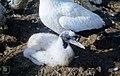 Muddy gannet chick. Cherry Kearton's Penguin Island. Lambert's Bay. May 1960 (35046721973).jpg