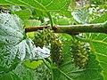 Mulberries in the Village Gardens, Dunster - geograph.org.uk - 1702849.jpg