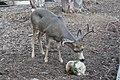 Mule Deer (Odocoileus hemionus).jpg