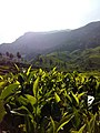 Munnar tea garden.jpg