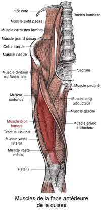 Muscle droit fémoral.png