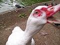 Muscovy Duck squawking for the camera (Lloyd Lake, San Francisco 2005).jpg