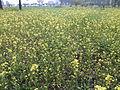 Mustard plantation 2.jpg