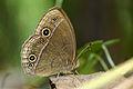 Mycalesis francisca formosana ventral view 20150415.jpg