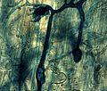 Mycorhize dans racine.jpg
