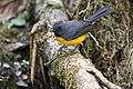 Myioborus miniatus Monteverde 04.jpg