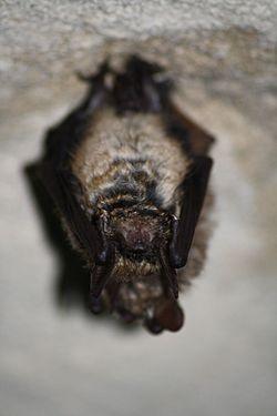 Myotis emarginatus.jpg