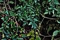 Mysterious Leaves (156454395).jpeg