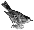 NSRW Ruby-Crowned Kinglet.png