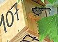 Nacen los primeros pollos en las cajas nido del paseo de la Castellana 01.jpg