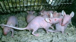 Vyšlachtený bezsrstý laborátorny potkan