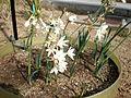 Narcissus broussonetii 1c.JPG