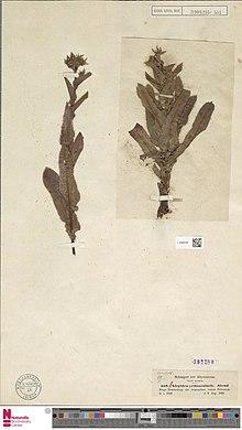"""Herbarium sheet of the type specimen of """"Alepidea peduncularis"""""""