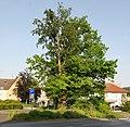 Naturdenkmal Eiche und Buche im Kreis Soest in Wickede auf dem Parkplatz Kirchstraße u. Christian-Liebrecht Straße 2.JPG