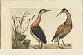 Nederlandsche vogelen (KB) - Ixobrychus minutus (056b).jpg