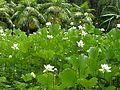 Nelumbo nucifera. White Lotus 1 - Flickr - gailhampshire.jpg