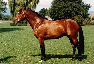 Freiberger horse breed