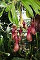 Nepenthes - Internationale Orchideen- und Tillandsienschau Blumengärten Hirschstetten 2016 a.jpg
