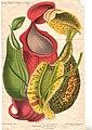 Nepenthes Stoomdrukkerij Floralia.jpg