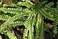 Nephrolepis cordifolia Lemon Buttons 0zz.jpg