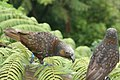 Nestor meridionalis -Wellington -New Zealand-8.jpg