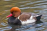 Netta rufina (Red-crested Pochard) Male, London Wetland Centre - Diliff.jpg