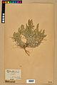 Neuchâtel Herbarium - Alyssum alyssoides - NEU000021952.jpg