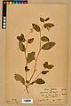 Neuchâtel Herbarium - Impatiens noli-tangere - NEU000019945.jpg