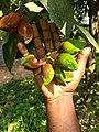 Niepa Bark (Quassia indica) കരിങ്ങാട്ടാ.jpeg