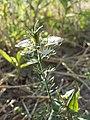 Nigella arvensis sl47.jpg