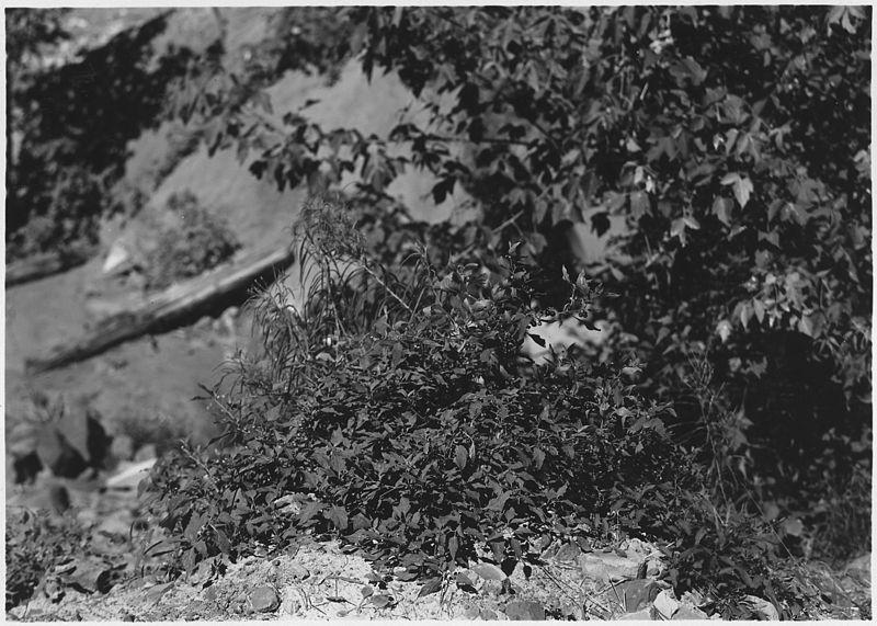 File:Nightshade. Solanum nigrum. Ripe berries purplish black. Leaves dark green but lighter than Datura leaf. - NARA - 520507.jpg