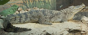 Nile crocodile - Side view