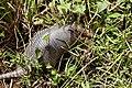 Nine-banded armadillo (Dasypus novemcinctus) (29884473785).jpg