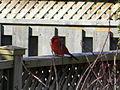 Northern Cardinal2.JPG