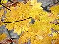 Norway Maple (30500699193).jpg