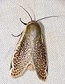 Notodontid Moth (Oxythres splendens) (39017415425).jpg