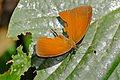 Nymphalid Butterfly (Faunis sp.) battered specimen ... (23451925151).jpg