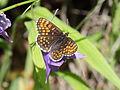 Nymphalidae- Melitaea spec. ? (7569309232).jpg