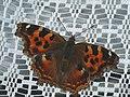 Nymphalis vaualbum - Compton tortoiseshell - Многоцветница v-белое (40257326355).jpg