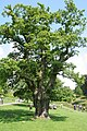 Oak Tree, Bradgate Country Park - geograph.org.uk - 494090.jpg