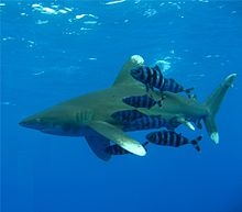 Photo of shark with black and white-striped fish
