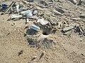 Ocypode lair in Sharm el-Naga01.jpg