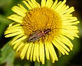 Oedemera sp. - Flickr - gailhampshire (1).jpg