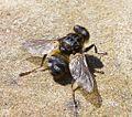 Oestridae. Hypoderma iparece - Flickr - gailhampshire.jpg