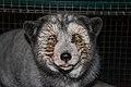 Oikeutta eläimille - Fur farming in Finland 02.jpg