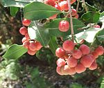 Olinia emarginata tree - South Africa 4.jpg