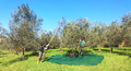 Olive harvest in Baruffi.png