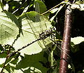 Onychogomphus forcipatus.JPG