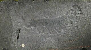 <i>Opabinia</i> Extinct stem-arthropod species found in Cambrian fossil deposits