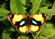 Open wing position of Junonia hierta Fabricius, 1798 - Yellow pansy WLB.jpg